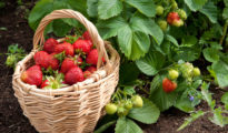 Harvesting Berries: When is the Best Time to Pick Berries?
