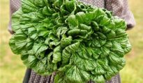 How to Grow Tatsoi Greens