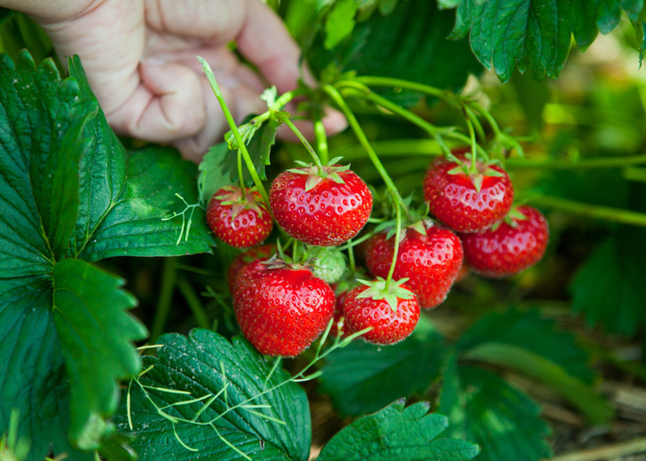 How to Grow Tillamook Strawberries