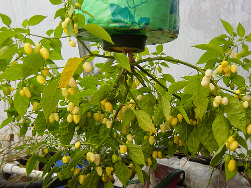 How to Grow Peppers Upside Down