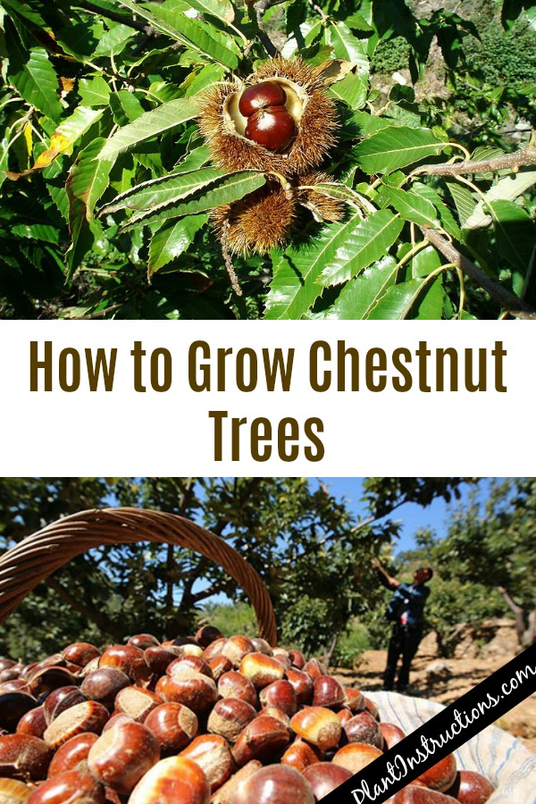 Grow Chestnut Trees