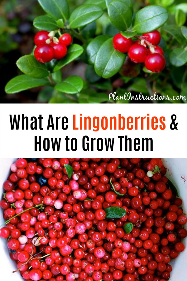 Grow Lingonberries