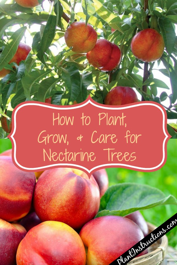 How to Grow Nectarines