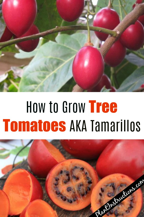 How to Grow Tree Tomatoes