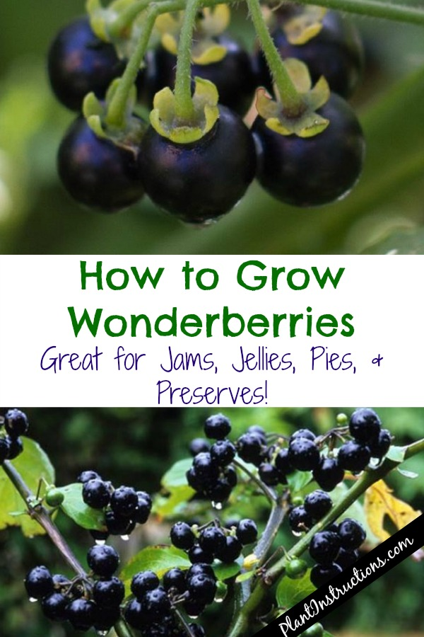 How to Grow Wonderberries