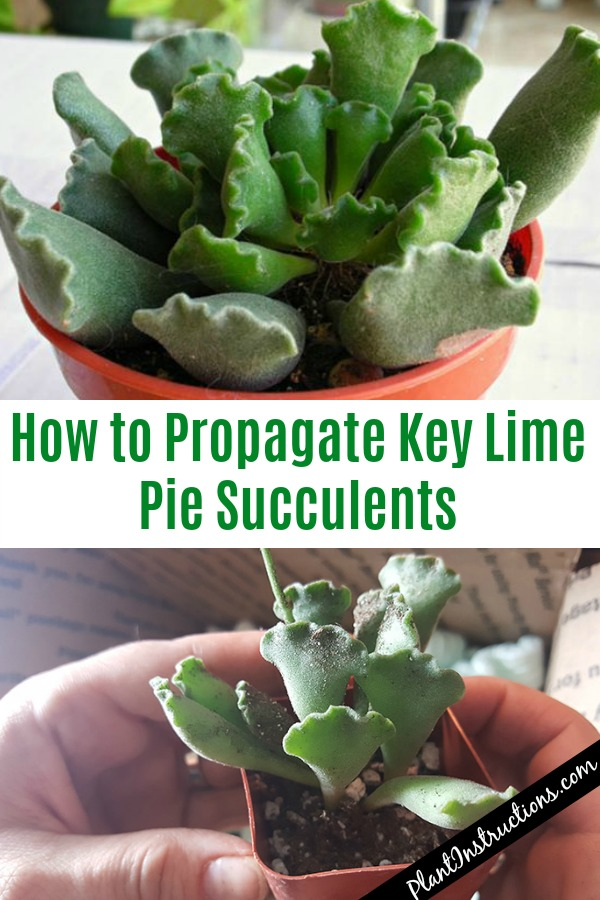 Propagate Key Lime Pie Succulents