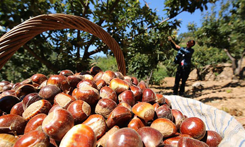 How to Grow Chestnut Trees