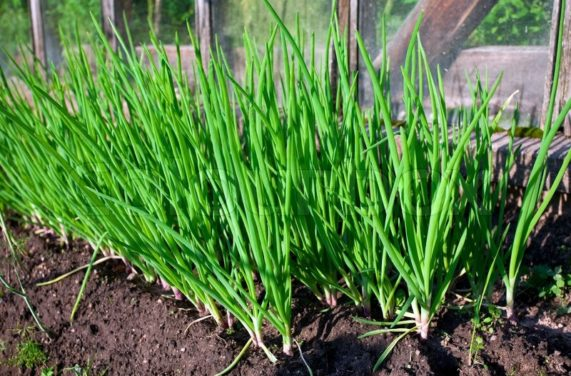 How to Grow Green Onions: 3 Ways to Grow Green Onions