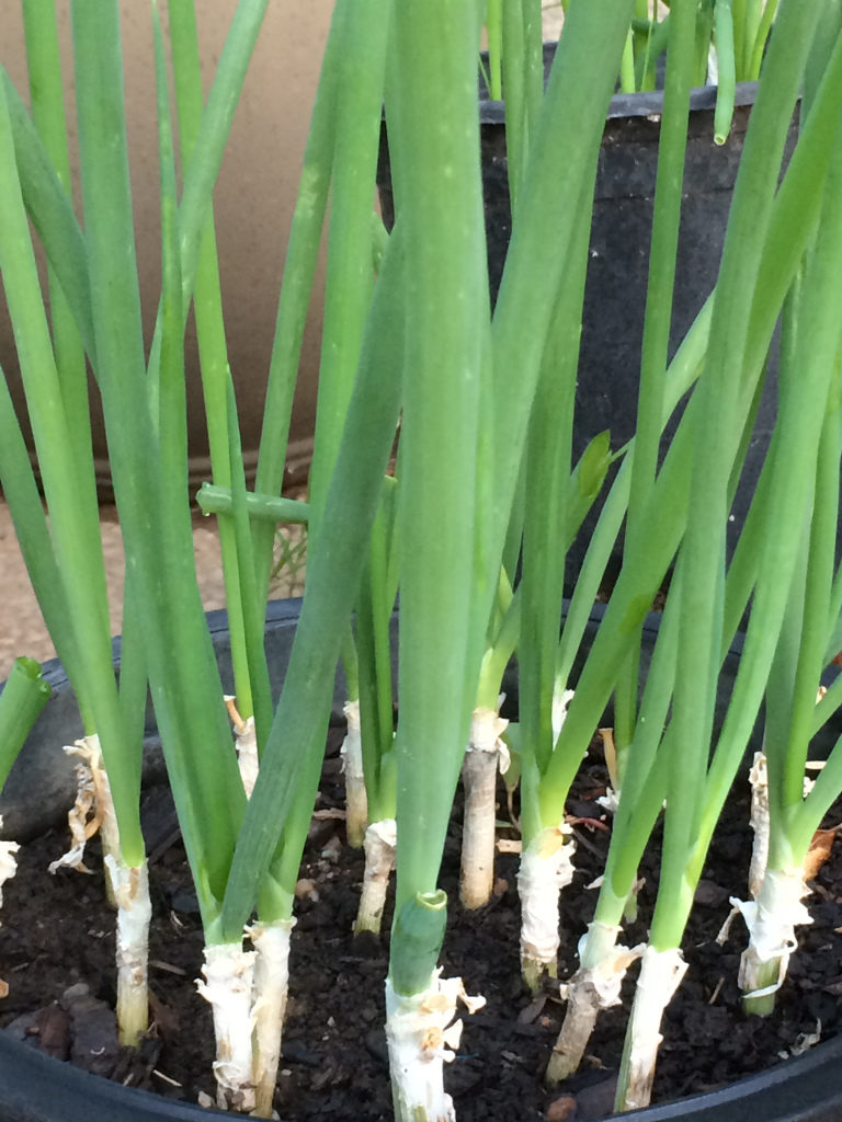 green onions in pots