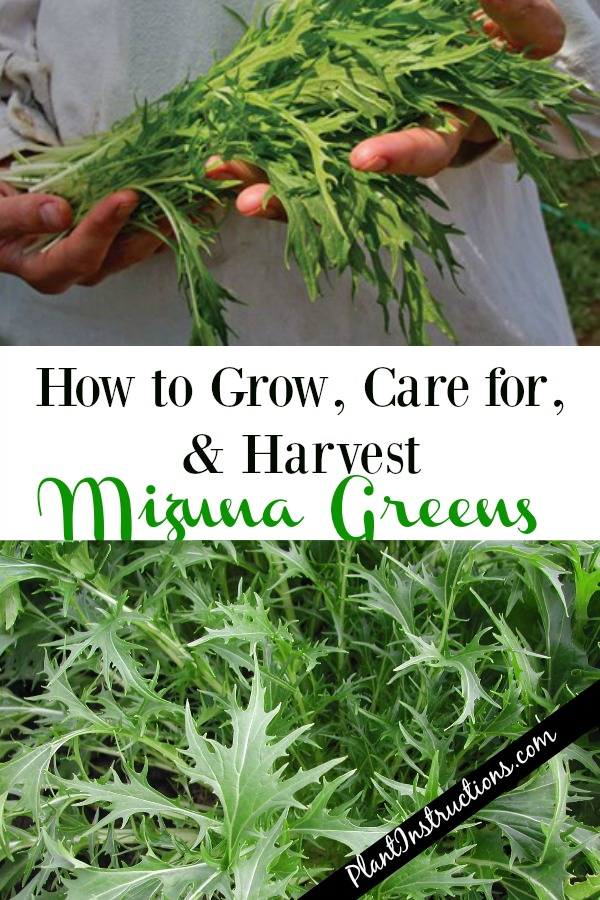 How to Grow Mizuna Greens Plant Instructions