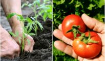 How Far Apart to Plant Tomatoes