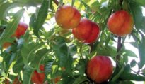 How to Grow Nectarines in Your Garden