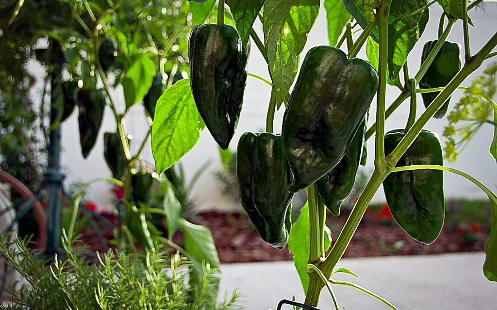 How to Grow Poblano Peppers
