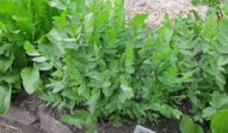 How to Grow Skirret Plants & What They Are