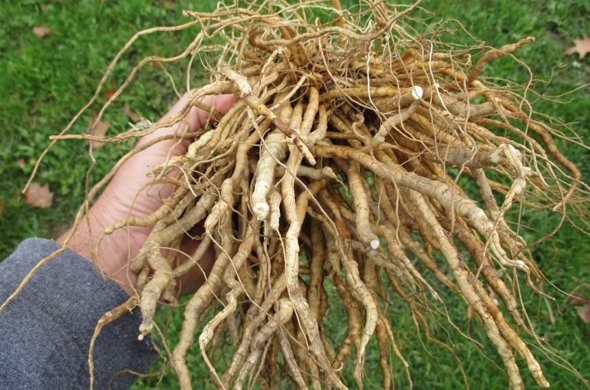skirret root