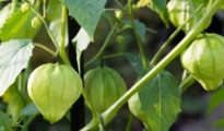 How to Grow Tomatillos in Your Garden