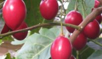 How to Grow Tree Tomatoes AKA Tamarillos