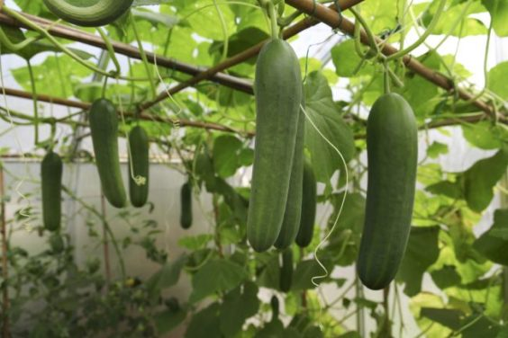 Best Climbing Vegetables You Should Be Growing!
