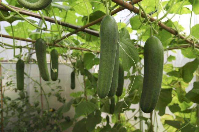 vertical cucumbers