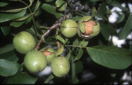 How To Grow Walnut Trees In Your Garden
