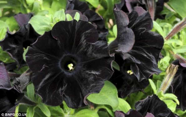10 Black Flowers That Will Add Drama To Your Garden