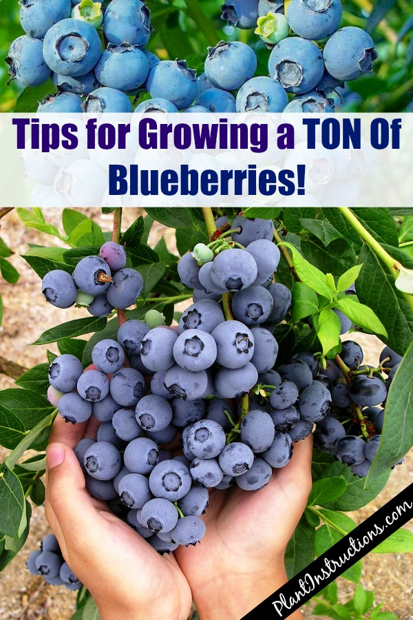 Grow a Huge Blueberry Harvest