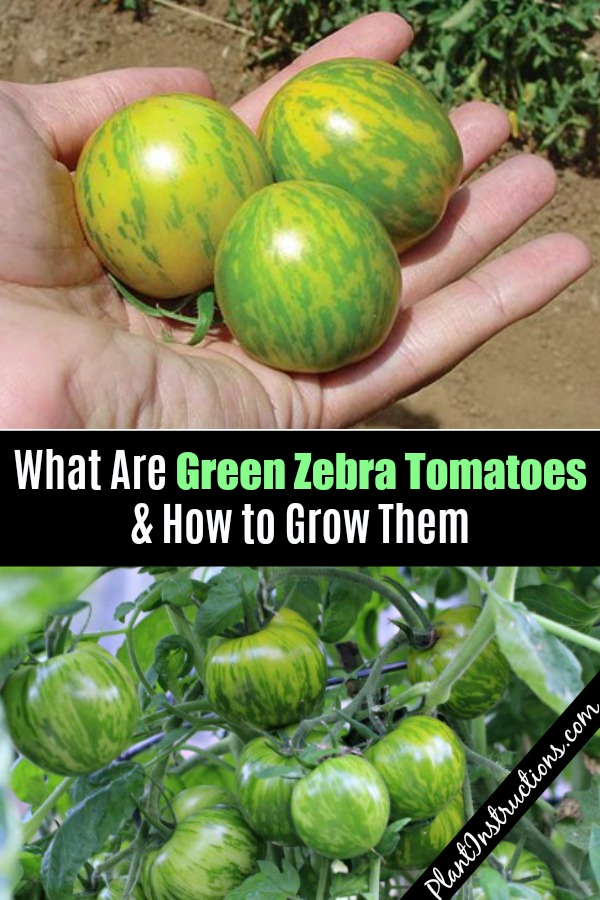 How to Grow Green Zebra Tomatoes