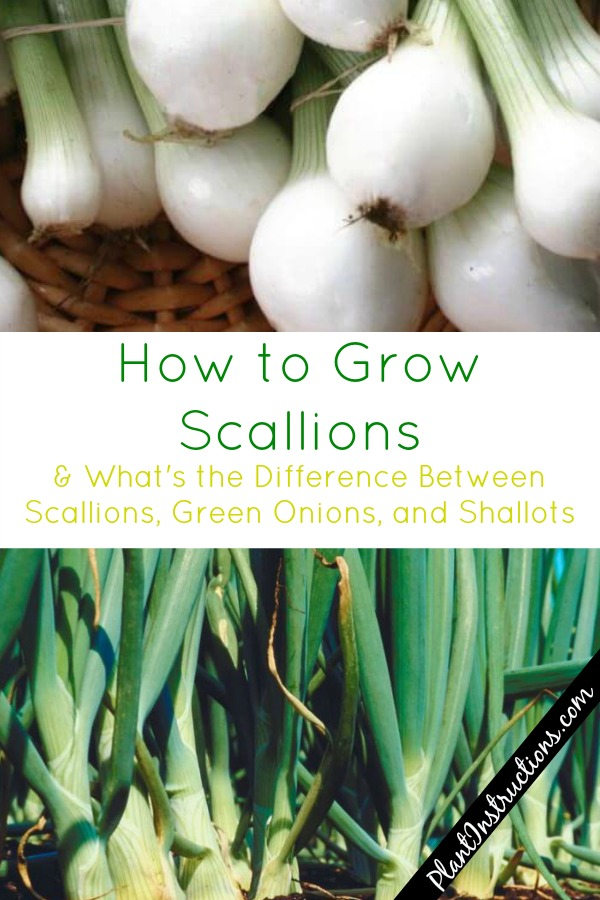 How to Grow Scallions