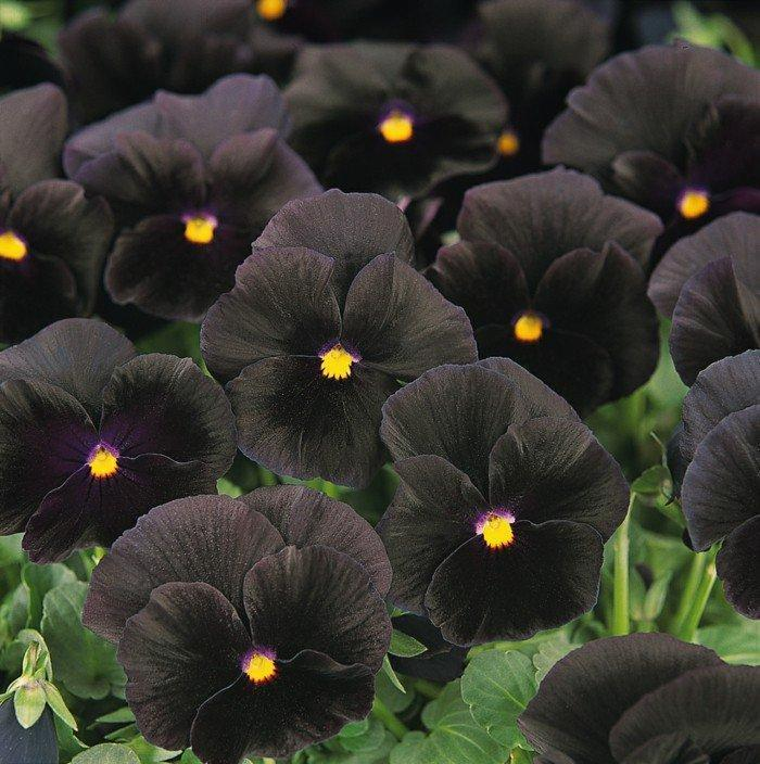 20 Black Flowers And Plants To Add Drama To Your Garden: 10 Black Flowers That Will Add Drama To Your Garden