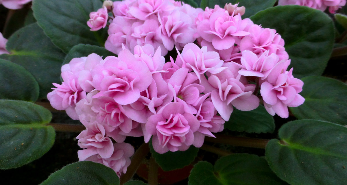 How to Care for African Violets Indoors & Outdoors