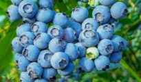 How to Grow a Huge Blueberry Harvest