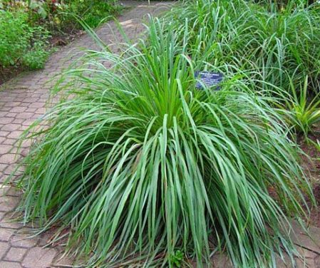 How to Grow Citronella AKA Mosquito Plant