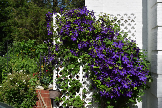 How to Grow Clematis in Your Garden
