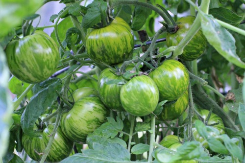 How to Grow Green Zebra Tomatoes in Your Garden