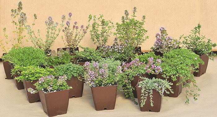 varieties of thyme