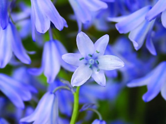 How to Plant Bluebells: Caring for Wood Hyacinth Bluebells