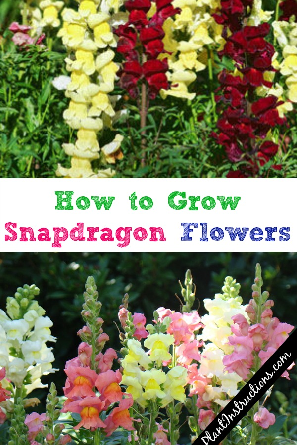 How to Grow Snapdragon Flowers