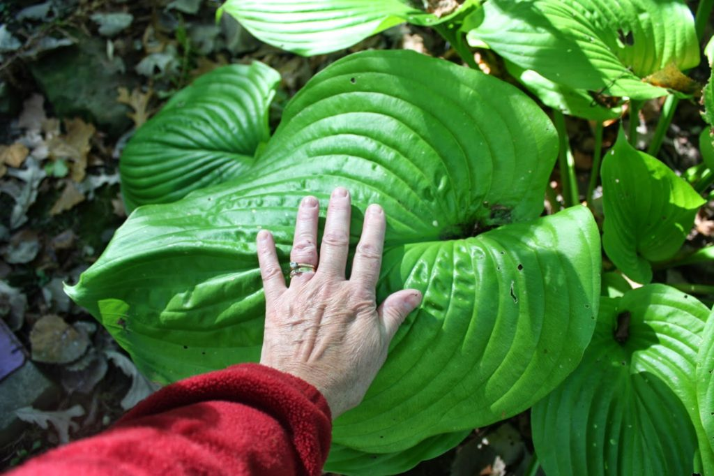 big hosta leaf