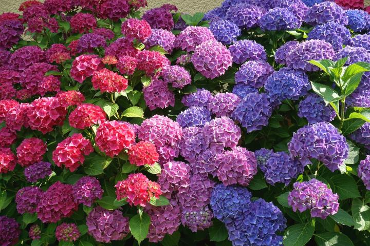 5 Expert Gardening Tips for Growing Hydrangeas