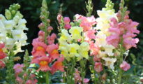 How to Grow Snapdragon Flowers: A Guide to Growing & Caring For Snapdragons