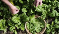 How to Plant Spinach