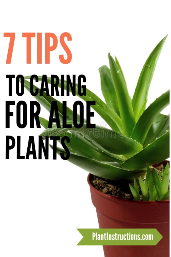 Care For Aloe Vera Plants