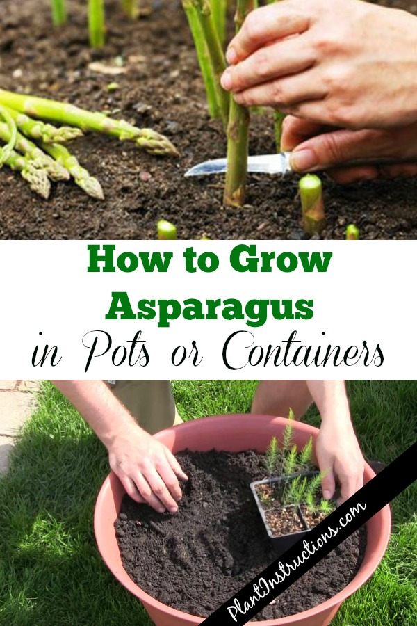 Grow Asparagus in Containers