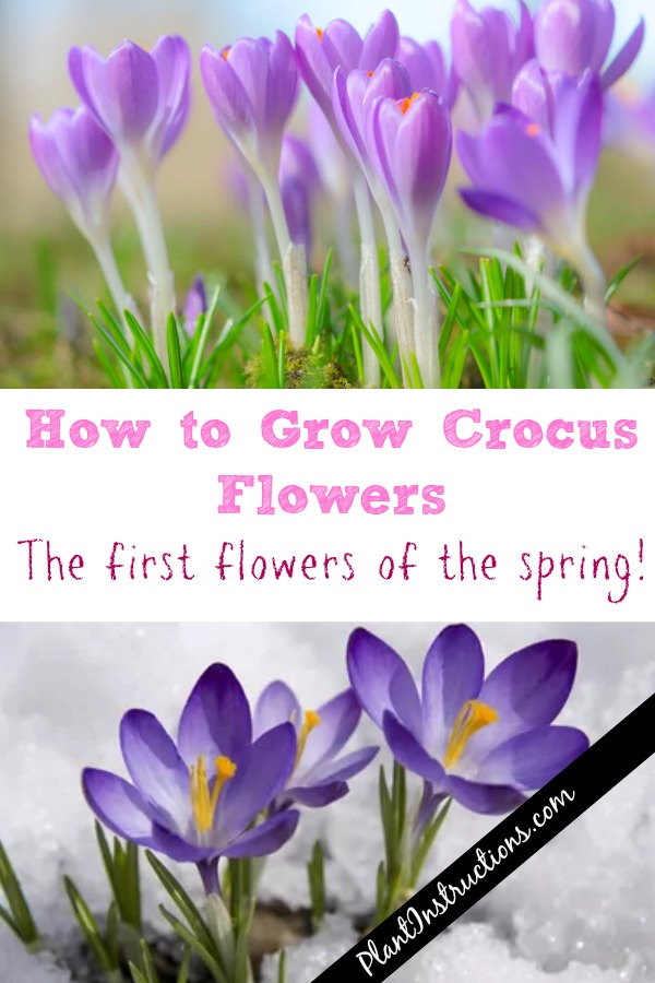 How to Grow Crocus Flowers