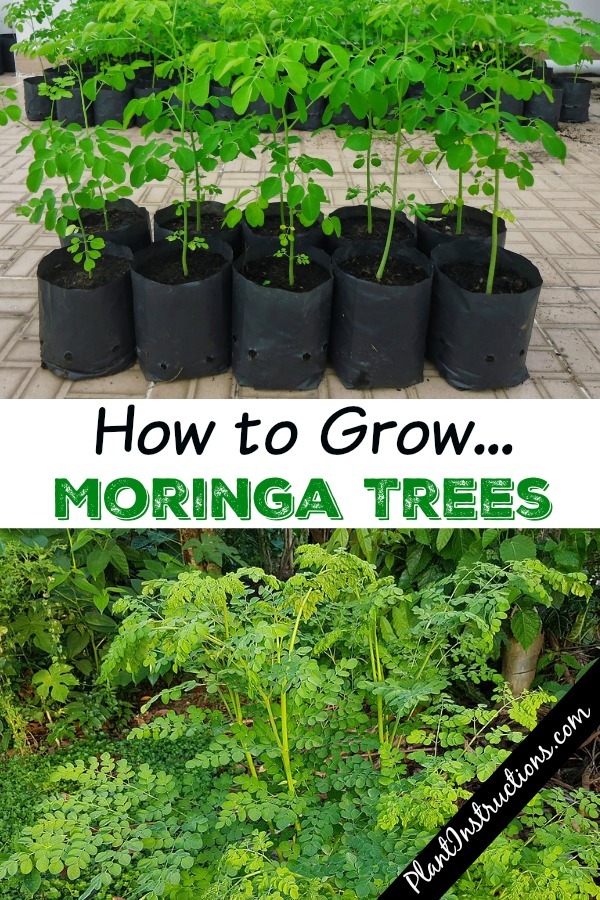 How to Grow Moringa Trees