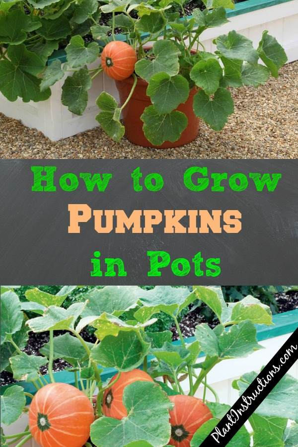How to Grow Pumpkins in Pots