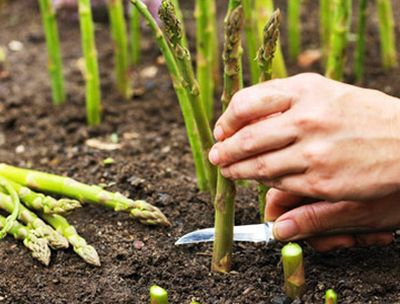 How to Grow Asparagus in Containers or Pots