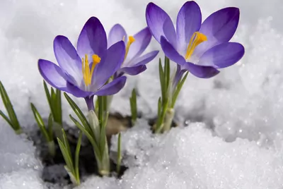 How to Plant Crocus Flowers