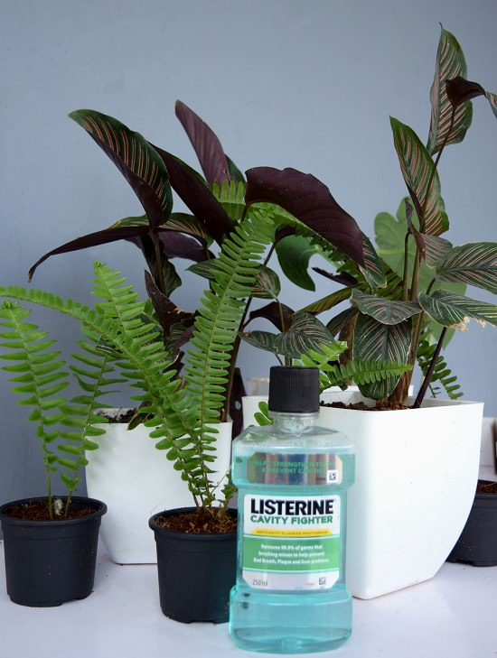 listerine fertilizer