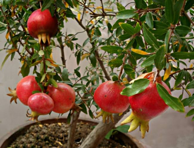pomegranates in containers